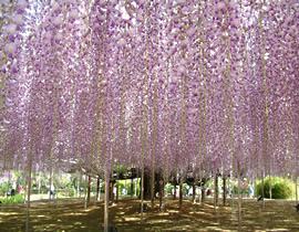 Le Parc Ashikaga Flower Park